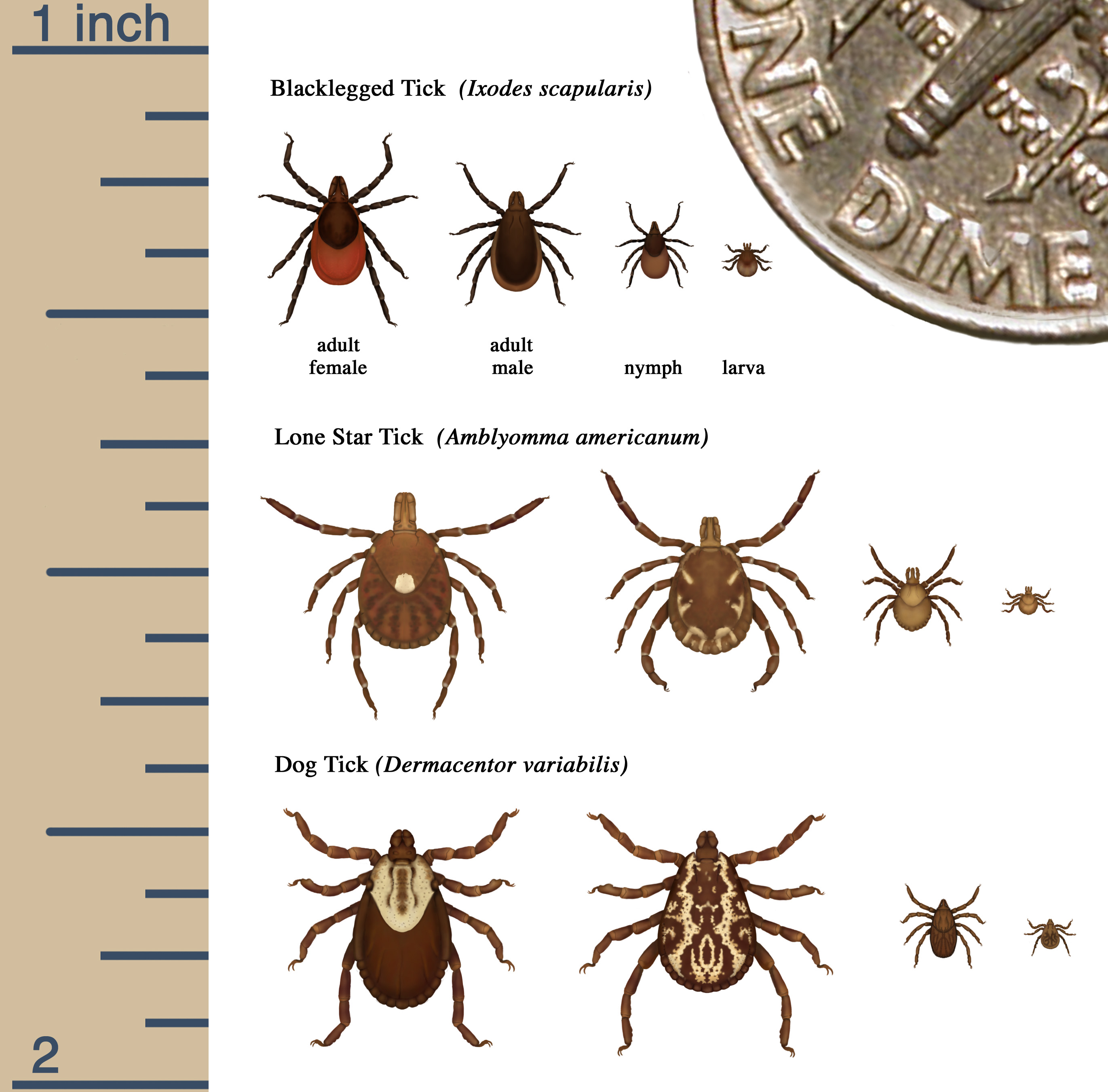 Cdc S Tick Identification Chart Ilrates The Size And Earance Of Theblacklegged Lone Star